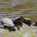 weekend turtles